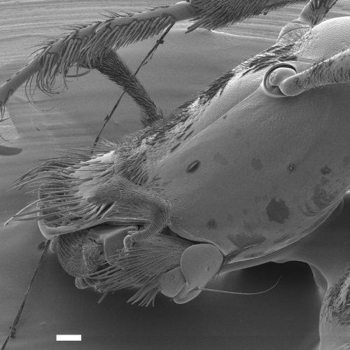 Posnetek jamskega hrošča hadezije pod elektronskim mikroskopom. Kot večina jamskih živali je brez oči. Z »brki« preceja vodo in iz nje lovi drobce hrane. (avtor fotografije je Rok Kostanjšek)
